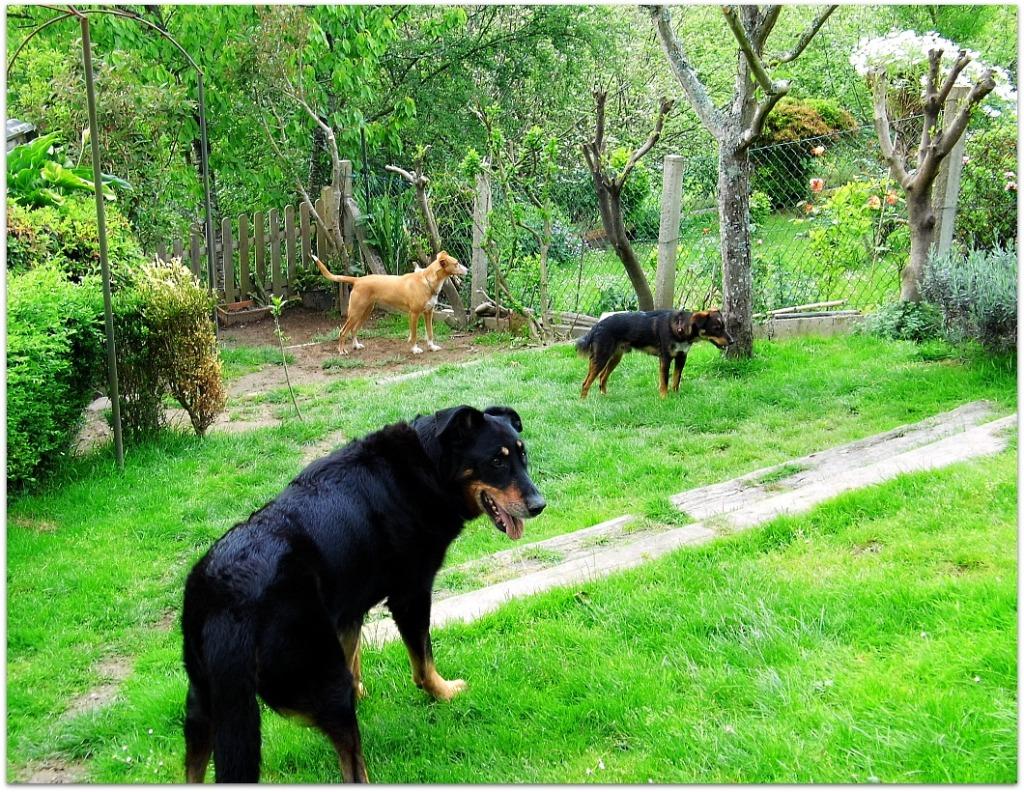 Trío de perros en el jardín