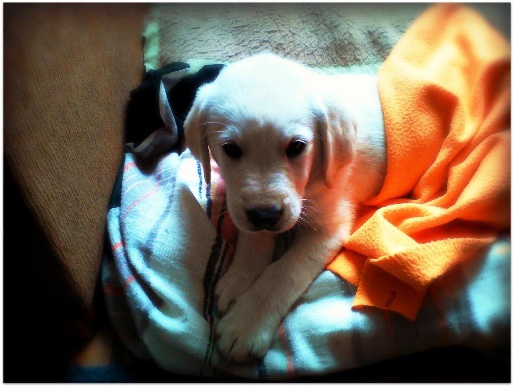 Cachorro de Golden