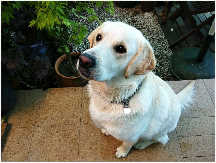 Clay, perro raza Labrador