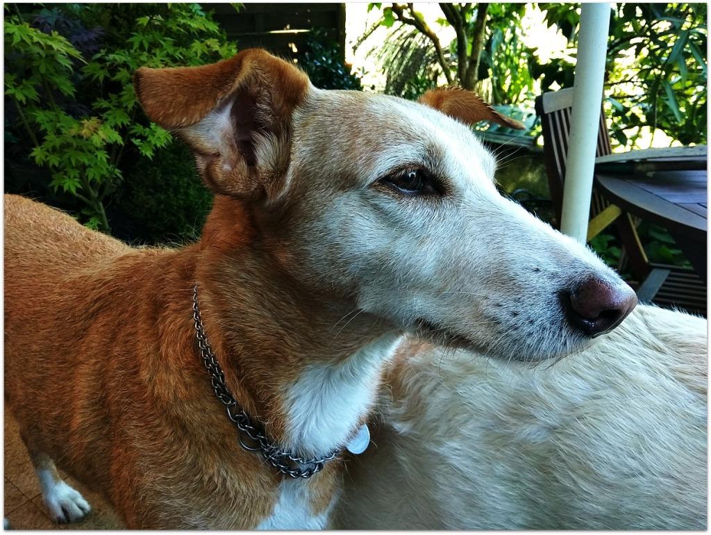 Ruty, perro raza Podenco
